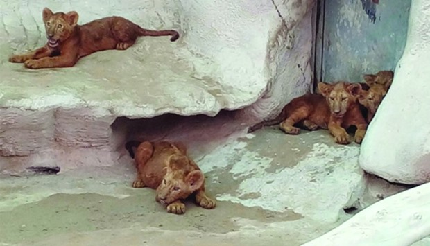 Five lion cubs born at Doha zoo