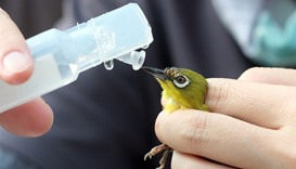 A volunteer feeds water to a Japanese white-eye, zosterops japonicus