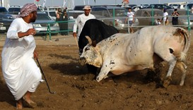 Bloodless bullfights in UAE