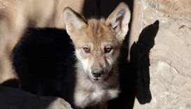 A newly born wolf cub at the Museo del Desierto