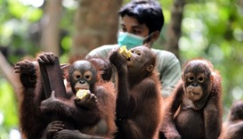 "Orphaned orangutan babies eating corn during ""school"" lunch"