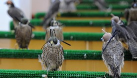 Falcons chained to a pole with a leather hood over their head waiting to be purchased
