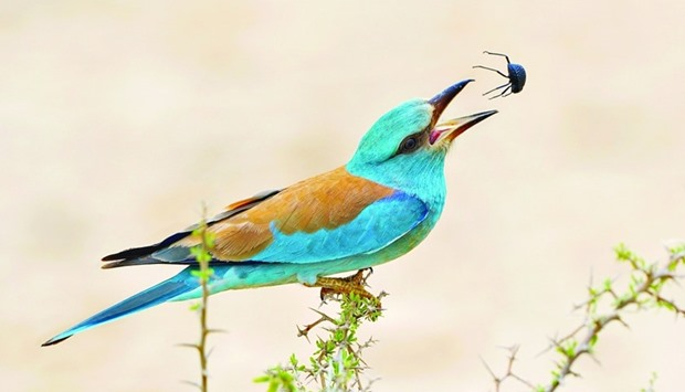 A European Roller gets ready to devour an insect
